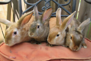 Satin / Satin Angora Cross Young Rabbits as Pets or for Brood