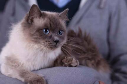 SIRE WITH PAPERS - BLUE RAGDOLL