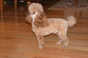 CKC REGISTERED  RED MALE  TINY TOY POODLE