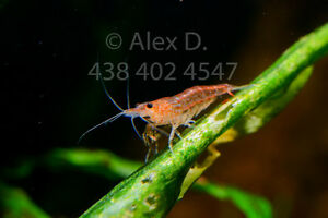red cherry shrimps 10 sh for $15