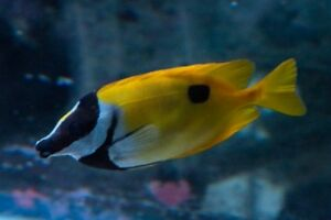 "8"" foxface rabbitfish/small clownfish/small devilfish"