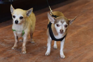 **Sweet Booboo and Maddie - CHI's are available for adoption****