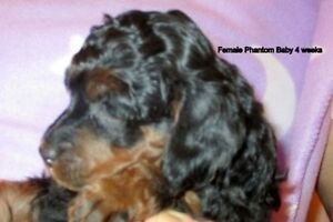 CKC Miniature Phantom Poodles from Health Tested Parents