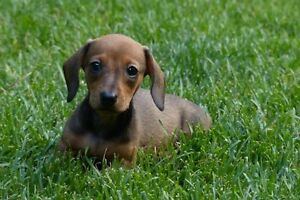 MINIATURE DACHSHUND PUPPIES (Mini Smooth)