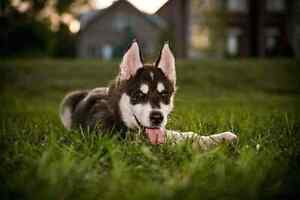 Looking for a Black and White Male Husky Puppy with Blue Eyes London Ontario image 3