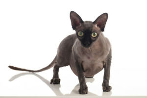 STILL MISSING - SPHYNX CAT