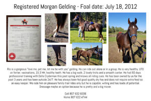 Morgan gelding - Can be trailered to southern Ontario Nov 15