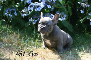 C.K.C. Registered French Bulldog Puppies