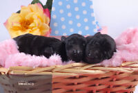 Pure Bred BLACK German Shepherd Puppies (RARE!) Limited time.