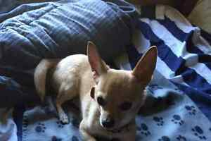 Breed my male Chihuahua with your female Chihuahua