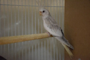 Mall cockatiel white face canelle