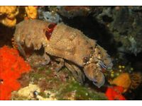MARINE FISH / THIS IS THE UNUSUAL AND HARD TO FIND DWARF SLIPPER LOBSTER