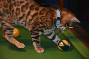 500.00 REWARD LOST YOUNG MALE BENGAL ROSETTE NEUTERED London Ontario image 5