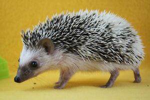 friendly baby Hedgehogs ready Christmas time