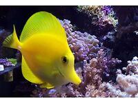 Beautiful Yellow Tang for the Marine Aquarium Fish no Coral