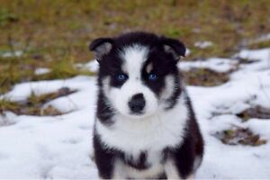 BLUE EYED BEAUTIES: AlASKAN HUSKY PUPPIES