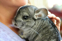 Selling our Adorable Chinchilla