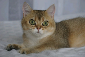 Golden British Shorthair Girl TICA Registered.