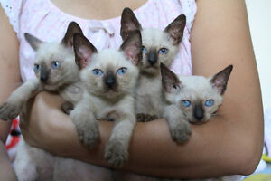 SIAMESE KITTENS - FULLY VACCINATED