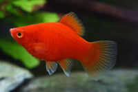 Superb Baby Platy Fish for sale