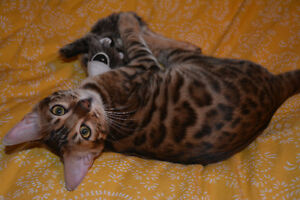 REWARD LOST  YOUNG MALE BENGAL CAT Cambridge Kitchener Area image 6
