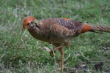Birds - Golden Pheasants Ardeer Brimbank Area Preview