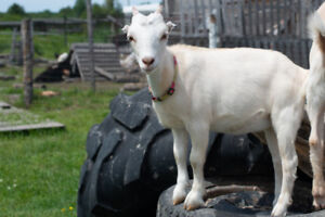 Miniature Dairy Goat Kids For Sale