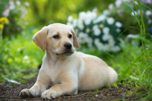 (Searching for a labrador pure race puppy)