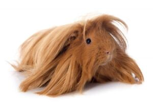 Guinea pig looking for home