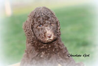 F1B Chocolate and Parti Labradoodle Puppies have arrived!!!