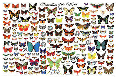 Laminated Butterflies Of The World Educational Science Chart    Laminated Poster