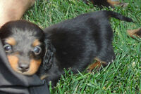 MINI LONG-HAIRED DACHSHUND PUPPIES (1X LEFT)