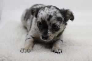 female pomchi ready for rehoming
