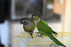 Pair of adorable tame conures to a good home