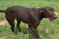Mocha is a sweet, young and playful lab mix girl.