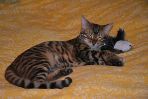 REWARD LOST  YOUNG MALE BENGAL CAT Cambridge Kitchener Area image 4