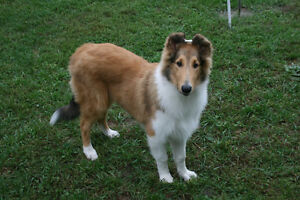 Rough Collie~2 males available