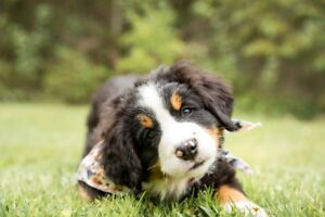 Bernese Mountain Dog (puppies)