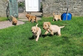 Last Boy Ready Now. KC Registered Labrador Puppies