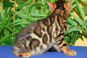 RED/GOLD BENGAL KITTEN AVAILABLE (TICA REGISTERED MALE)