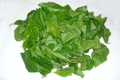 Bolsa de 150 grs de hojas de morera Morus Alba para la...
