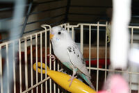 one pretty budgie for sale