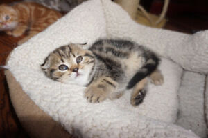 Purebred Scottish Fold and Straight kittens