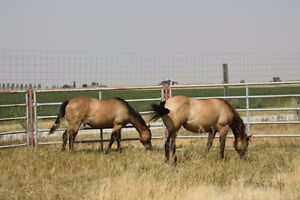 Quarter Horses For Sale