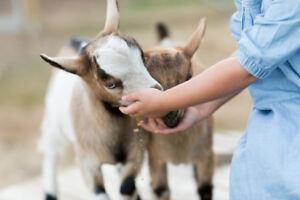 Friendly Happy Dwarf Goats Need A Good Home
