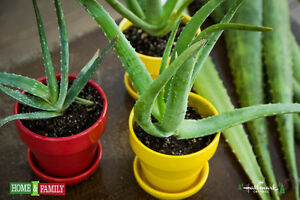 WANTED------Aloe Vera Plant or Plantlet (Baby)