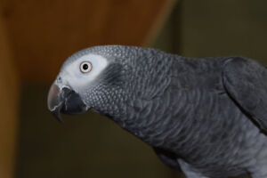 Lost African Grey in the Mahers area