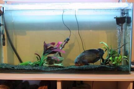 Oscar Fish For Sale In Ballarat Region Vic Gumtree Australia Free