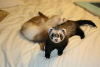 2 female ferrets with large cage and accesories