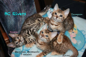 Beautiful Bengal Boys - TICA/registered/purebred!